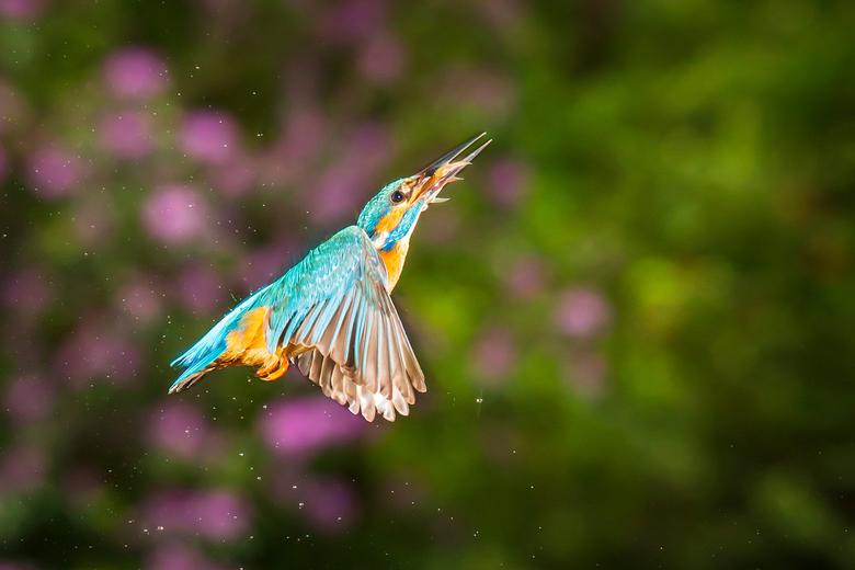 in de vlucht - IJsvogel in de vlucht nadat hij een visje heeft gevangen