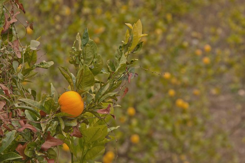 Appelsien - Tja, als je fotografeert in Spanje loop je vroeg of laat tegen sinaasappels aan.