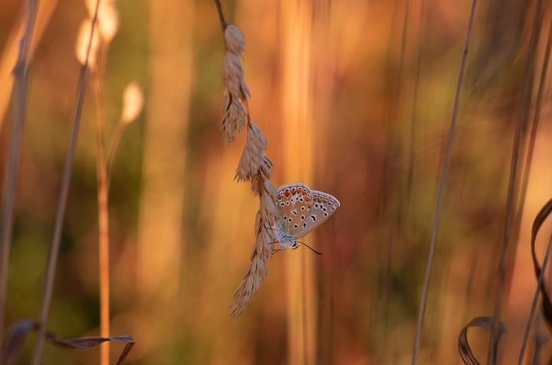 Blend in - nog een foto van een Icarusblauwtje in het late avondlicht