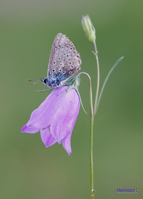 Blauwtje - Of het nou een icarusblauwtje of heideblauwtje of wat voor blauwtje dan ook is, weet ik niet. Maar hij staat er sierlijk op!