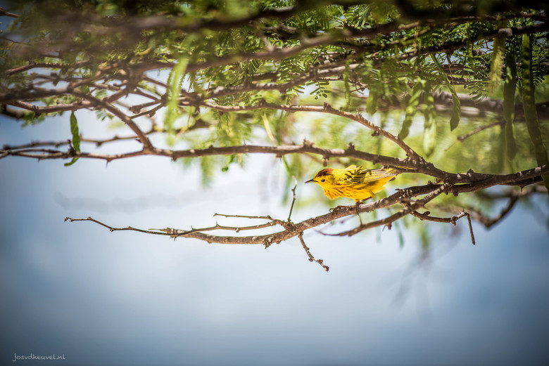 De Yellow Warbler