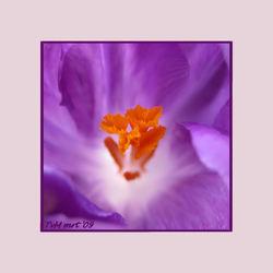 la fleur violette