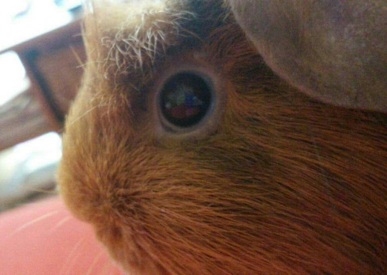 eyes have a language  - Dit is ambie mijn cavia {ik heb er nog een bambie } deze foto is gemaakt met mijn telefoon en niet bewerkt de foto is gemaakt