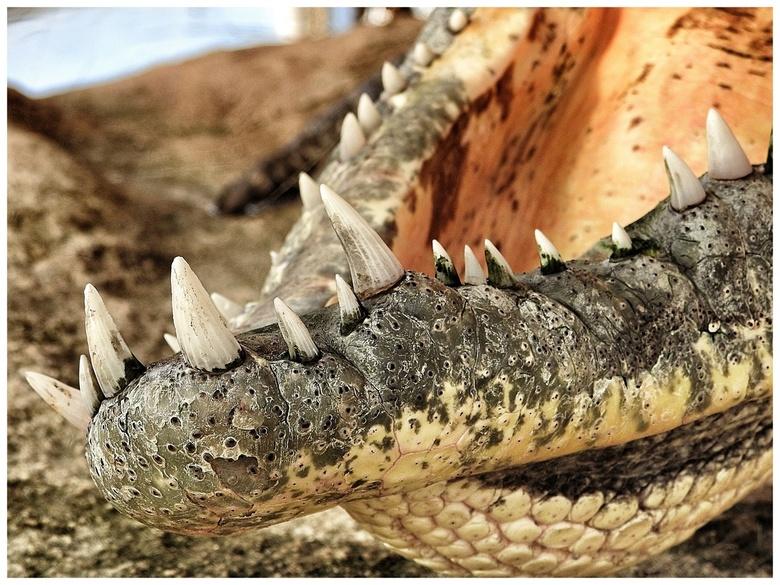 krokodillen tanden