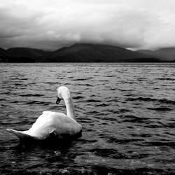 Zwaan in Loch Lomond
