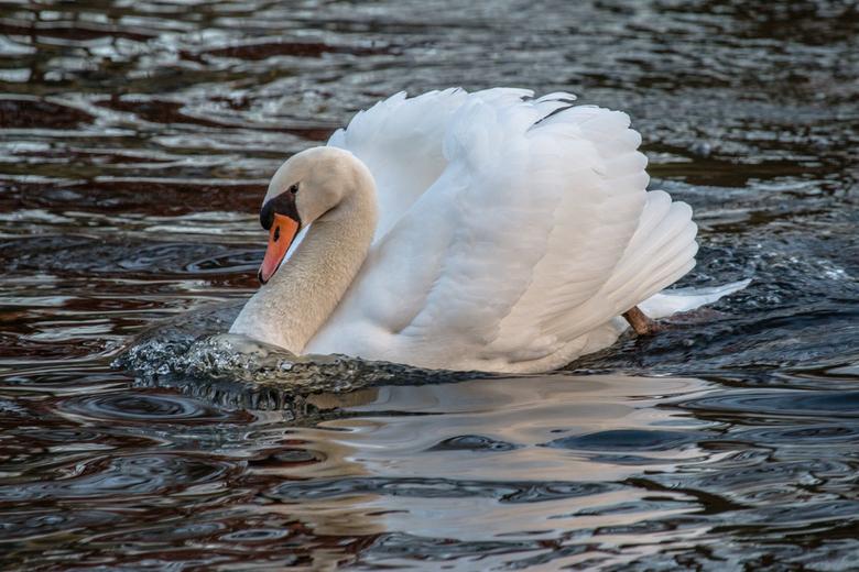 Swan... - Alle veren bij en zo het nieuwe jaar in.