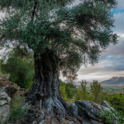Thousand years old Olive tree