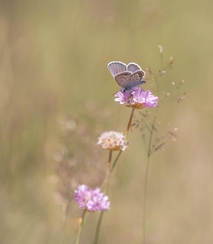 Heideblauwtje - Alvorens de donkere dagen echt gaan aanbreken, nog even een foto van afgelopen zomer. Zo kon ik op een late zomeravond dit heideblauwt