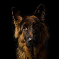 Hondstrouw