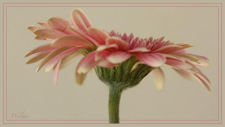 Gerbera - Omdat ik ze zelf zo mooi vind…<br /> <br /> Iedereen bedankt voor de reactie,s<br /> <br /> Groet Wilma
