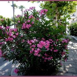 Greece Oleander