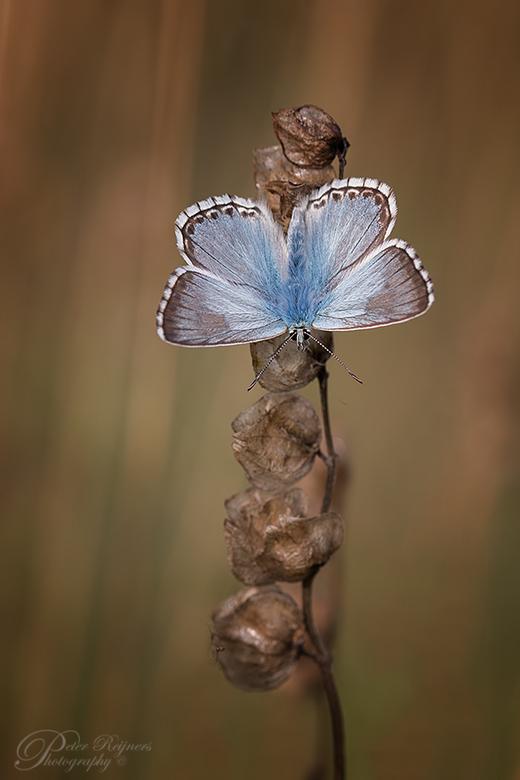 """Feelin' Blue - Een opname van een bleekblauwtje met open vleugels <img  src=""""/images/smileys/smile.png""""/><br /> <br /> Gr<br /> <br /> Peter"""
