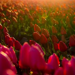 tuliparomantica