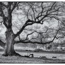 Oudste boom van Winterswijk