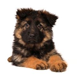 Oud Duitse Herder pup
