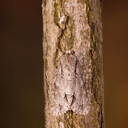 drietand vlinder
