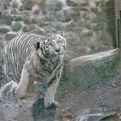 witte tijger 05