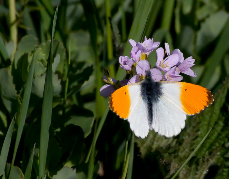 Het oranjetipje op een pinksterbloem - Een gepaste foto ivm koninginnedag 2013 die morgen plaats vindt.<br /> De enige vlinder die ik gisteren kon vi