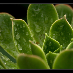 Drops on a cactus