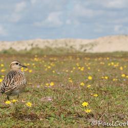 Morinelplevier op de Maasvlakte