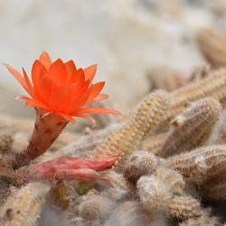 Cactus met bloem.