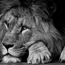 de leeuw van artis