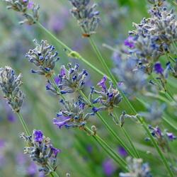 Bijna uitgebloeide lavendel