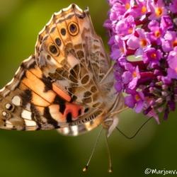 Vlinder uitbraak