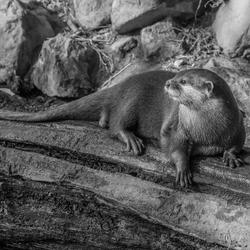 Ouwehands dierenpark - Otter
