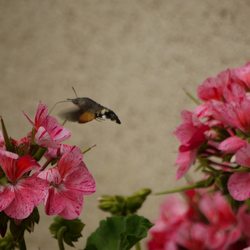 Deze Kolibrivlinder is een druk baasje.
