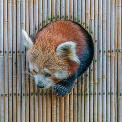 De rode panda.