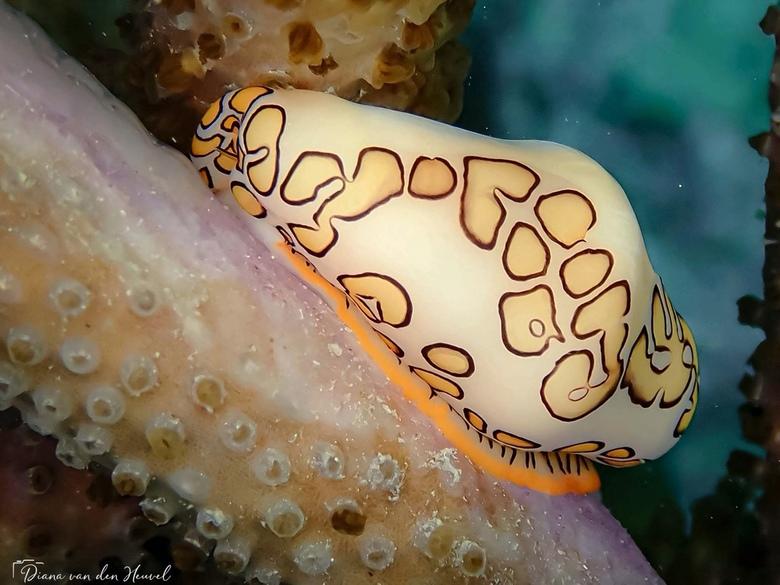 Flamingotong slak  - Deze zeeslak is meestal te vinden op zachte koralen waarvan hij de poliepen 'graast'. De mantel (zacht weefsel) stulpt