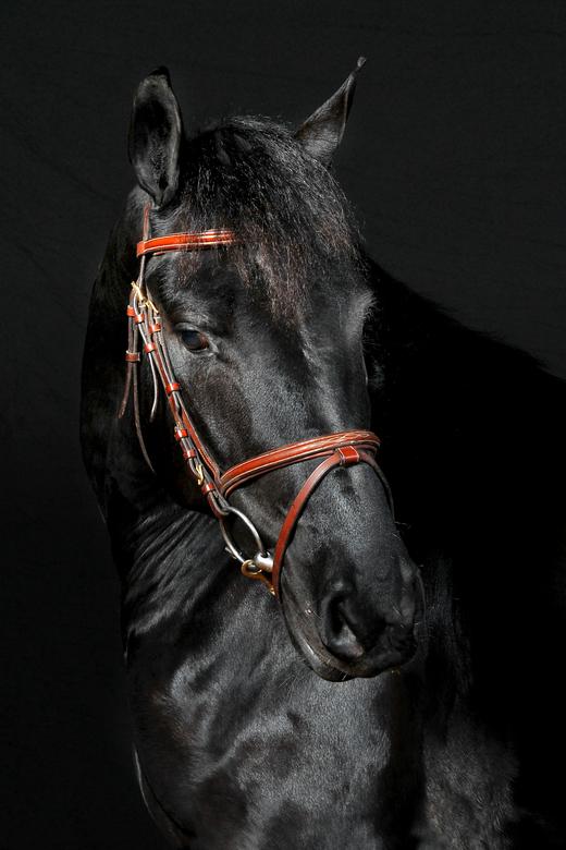 Fries. -  Jonge fries paard..