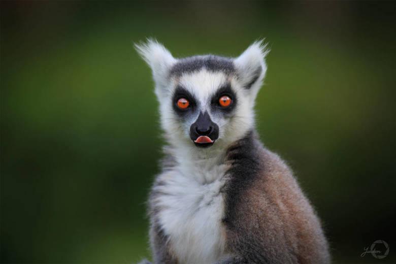 Ring-tailed Lemur - Lemur Catta -