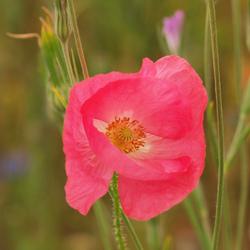Een roze klaproos !