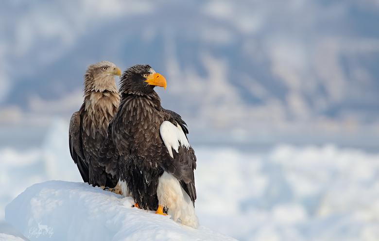 Zij aan zij - Ik heb het voorrecht gehad om deze prachtige adelaars te mogen fotograferen in Japan, de Steller en White-tailed eagle. <br /> Het zijn