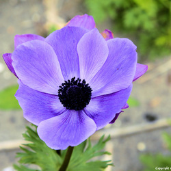 Anemonenveld in holland.