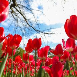 Rode voorjaars tulpen in de keukenhof