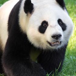 Wu Wen, de vrouwtjes panda in Ouwehands Dierenpark Rhenen