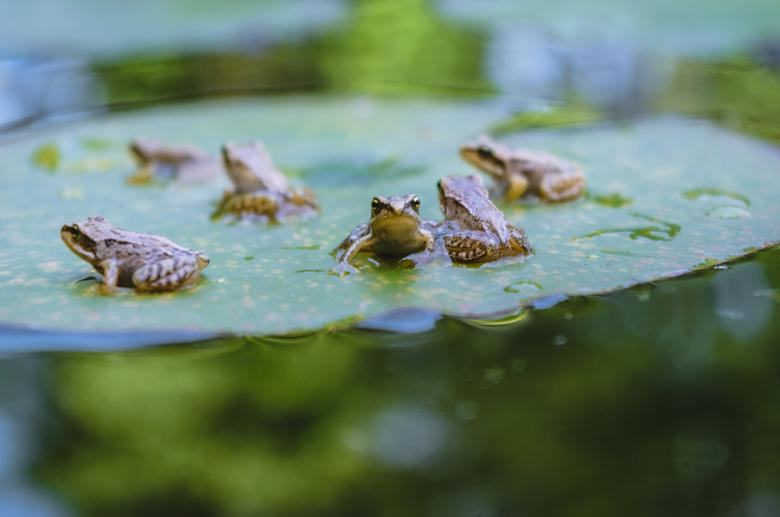 """Kleine kikkers - Zes kleine kikkers bij het water.<br /> <br /> Bij interesse is er meer te zien op mijn <a href=""""https://www.instagram.com/gijsphot"""