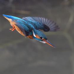 Duikvlucht IJsvogel