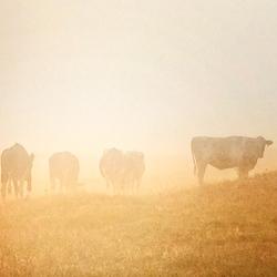 Koeien in oud duin landschap