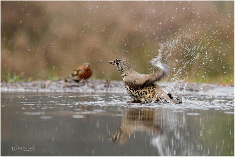 Waterballet - Waterballet van een Grote Lijster op een koude winterdag. Brrr moet er niet aan denken om een bad te nemen bij het vriespunt. <br /> Da