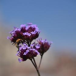 Wesp op Verbena Bonariensis