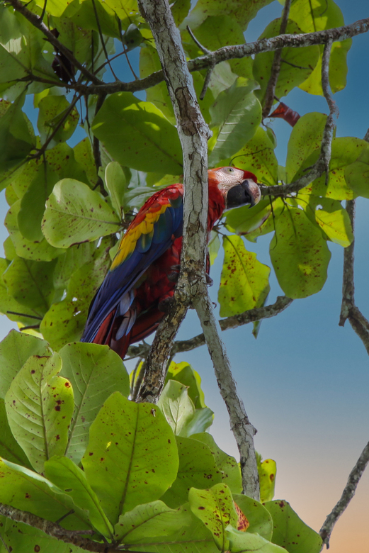 ARA - Ara: Parque national Mario Antonio, Costa Rica.