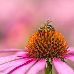 Bee on echinacea purpurea