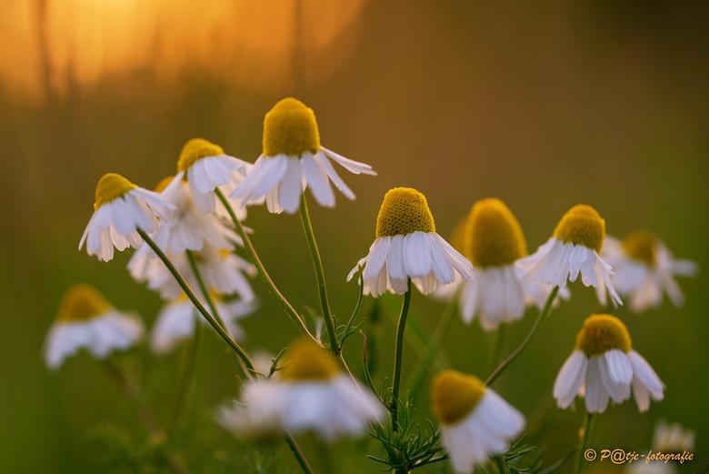 """slaapmutsje - Na een warme en zonnige dag gaat de natuur ook in de rust stand. Zo ook de Margrietjes, en gaf het de naam """"slaapmutsjes""""."""
