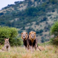 Loerende Leeuwen