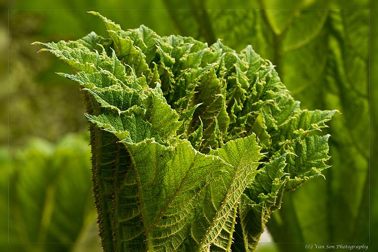 Nog compact... - ...maar enkel dagen later uitgegroeid tot een enorm blad, mensenhoog. Deze enorme planten groeiden in een kasteeltuin op Arran.<br />