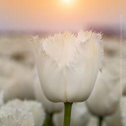 White fringed tulip